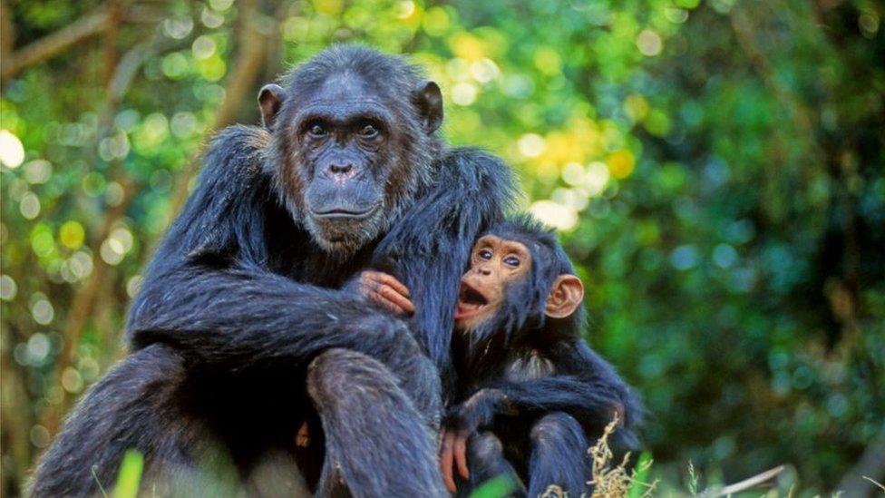Majka i mladunče šimpanze u Nacionalnom parku Gombe, Tanzanija