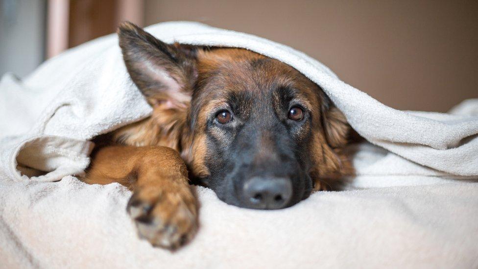 Un pastor alemán bajo las sábanas.