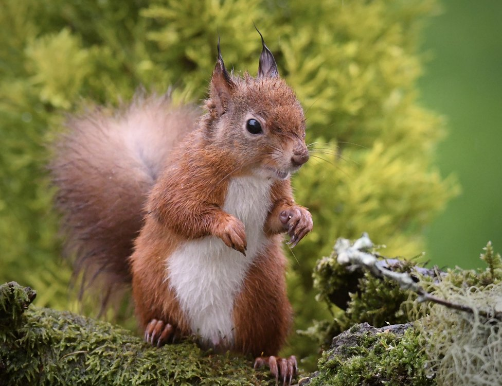 """""""Heavy rain wreaked havoc with this little red squirrels ear tufts,"""" says Marian Coburn from Perth."""