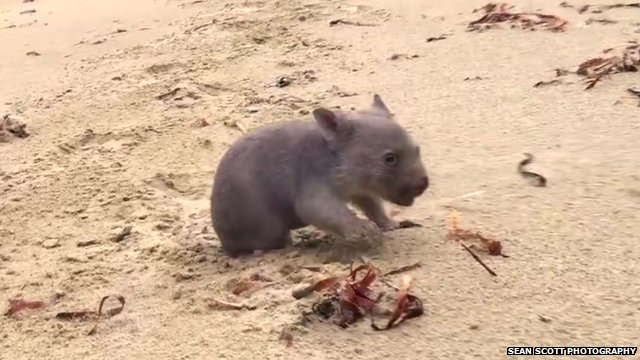 People in Australia are entering a special competition. The winner gets to cuddle a tiny wombat.