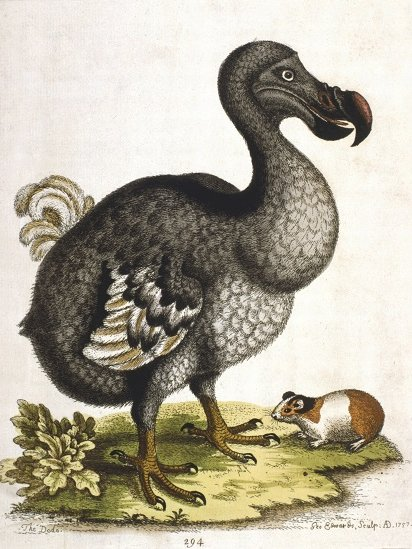 Retrato de un dodo.