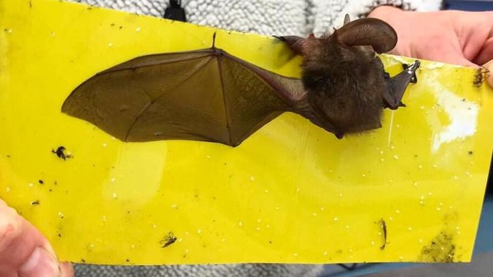Bat stuck on fly paper freed with butter on cotton buds