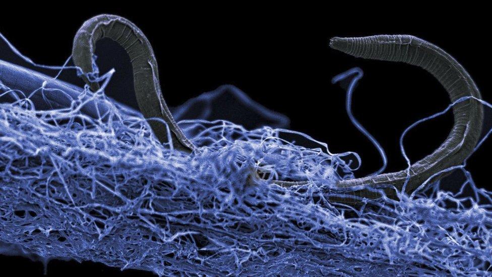 Un nemátodo o gusano cilíndrico sobre una película de otros organismos