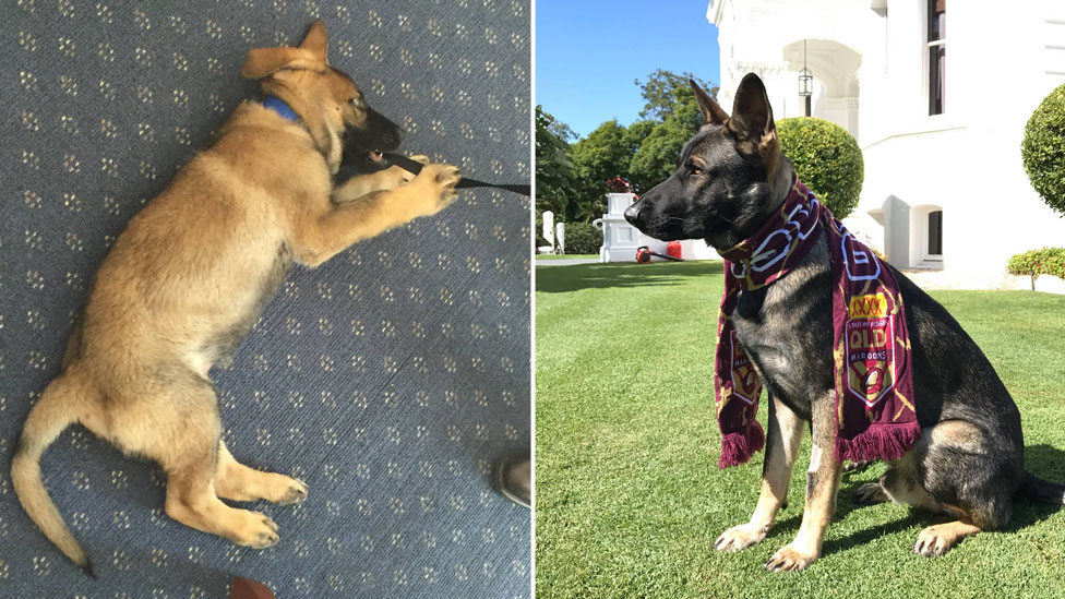 Composite photo, left, showing puppy-sized Gavel chewing his lead, and right, a grown dog wearing a rugby league scarf for the QLD Maroons team