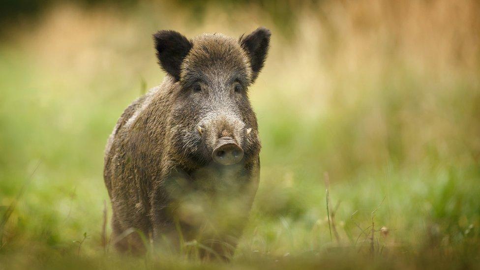 File pic of wild boar