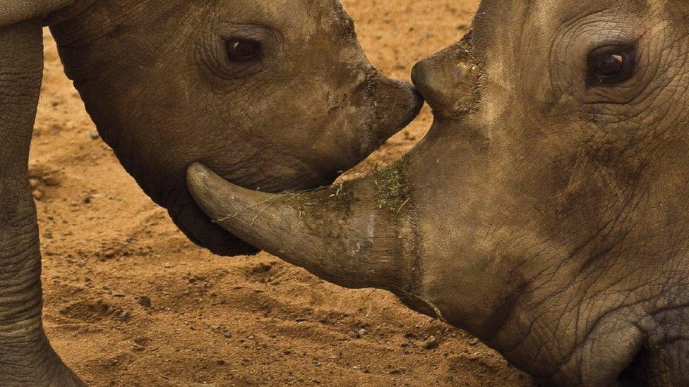 Rhinos (c) TRAFFIC