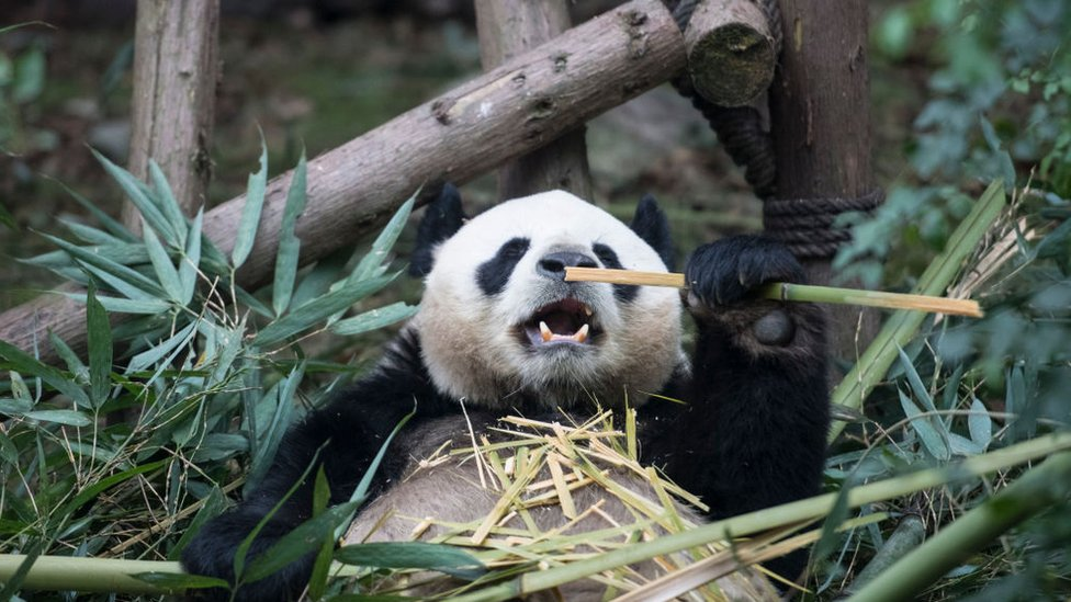 A giant panda eats bamboo at Chengdu Research Base of Giant Panda Breeding