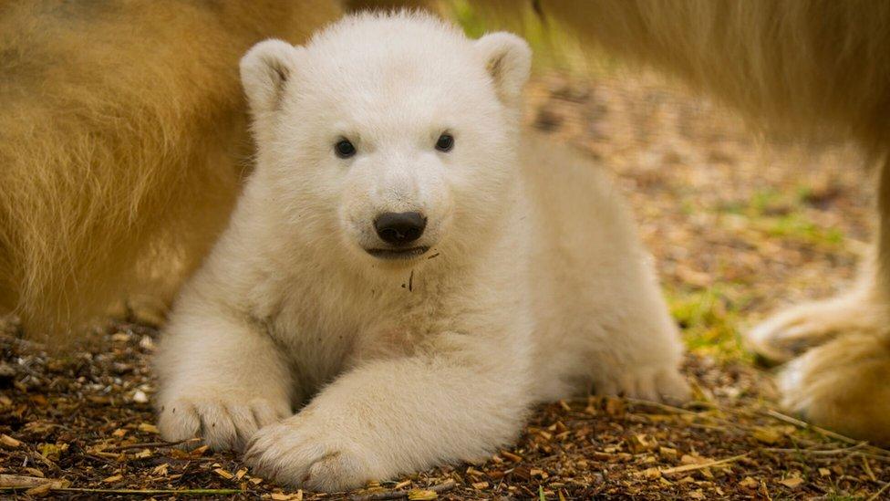 Highland Wildlife Park's polar bear cub