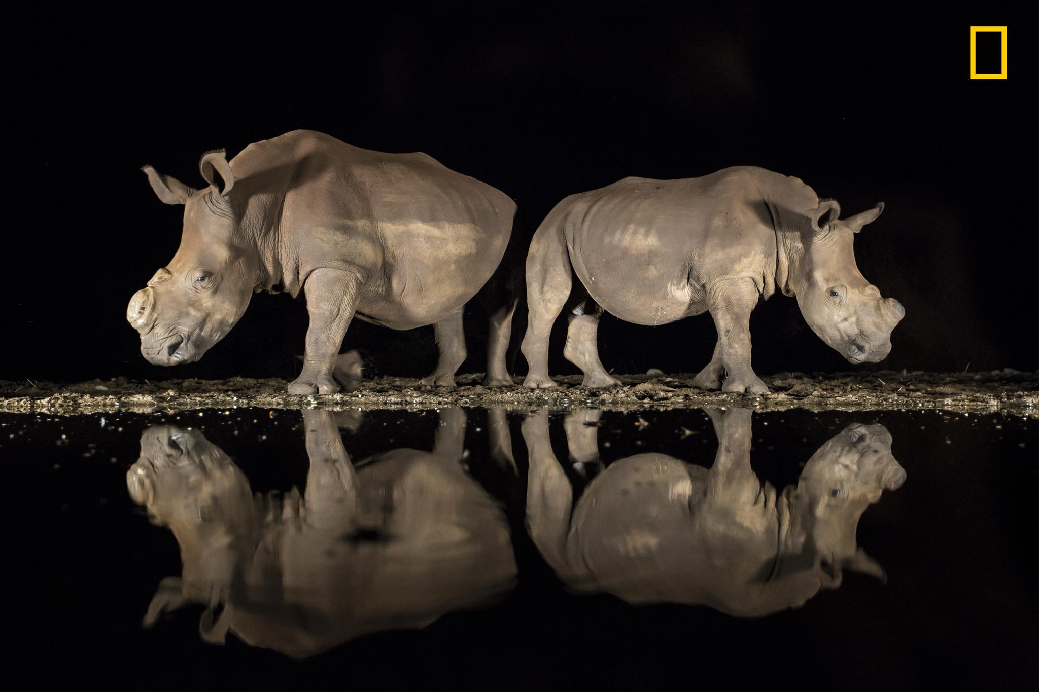 Rinocerontes blancos sin cuernos.