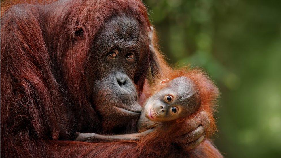 šimpanza i njena beba