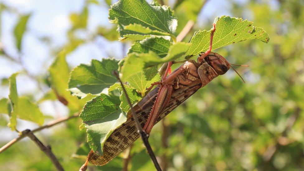 A locust on a branch