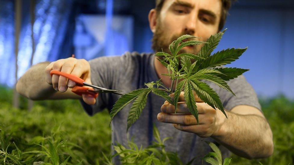 (圖為合法大麻種植資料照片)。