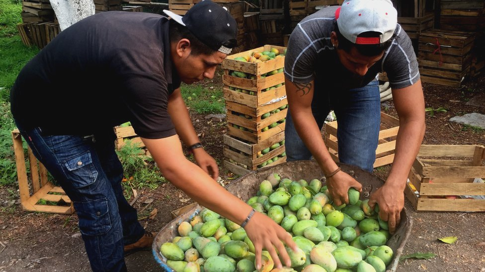 Workers pack mangoes into crates
