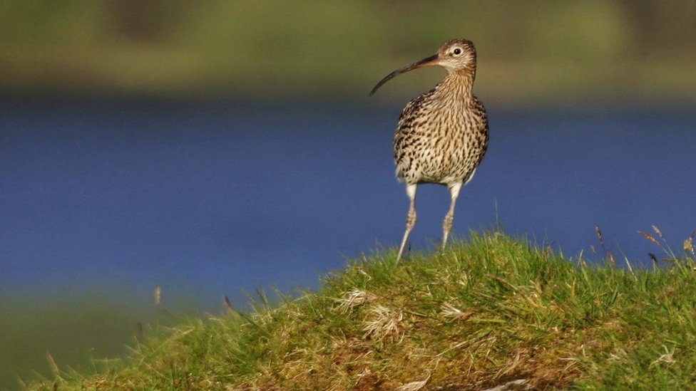 Listening for the curlew
