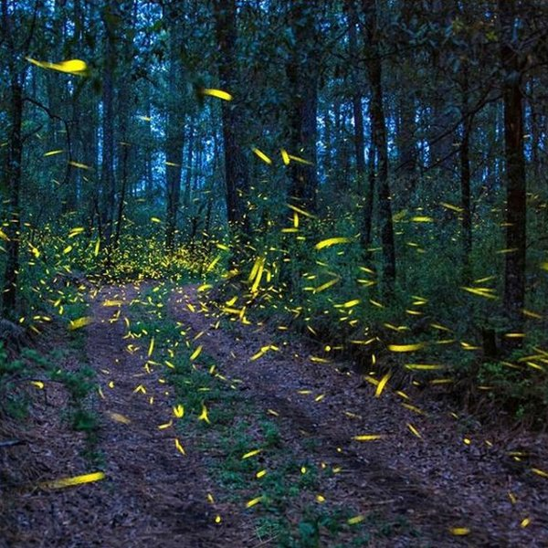 Firefly season is just three months in Mexico meaning the concentrated visits put extra pressure on the eco-system