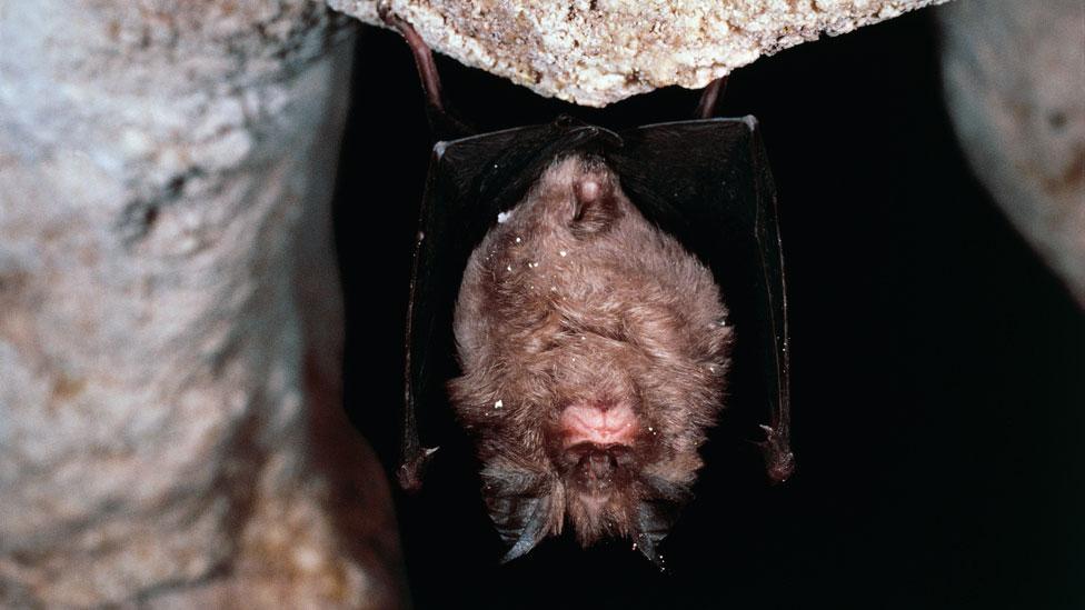Murciélago grande de herradura chino (Rhinolophus ferrumequinum)