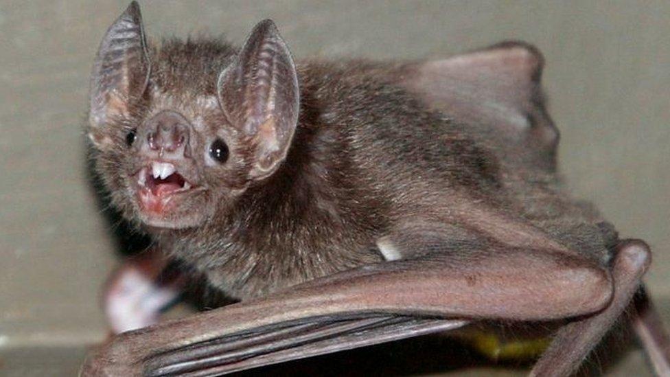 خفاش مصاص دماء
