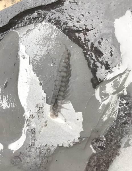 Leanchoiliid fossil from the site
