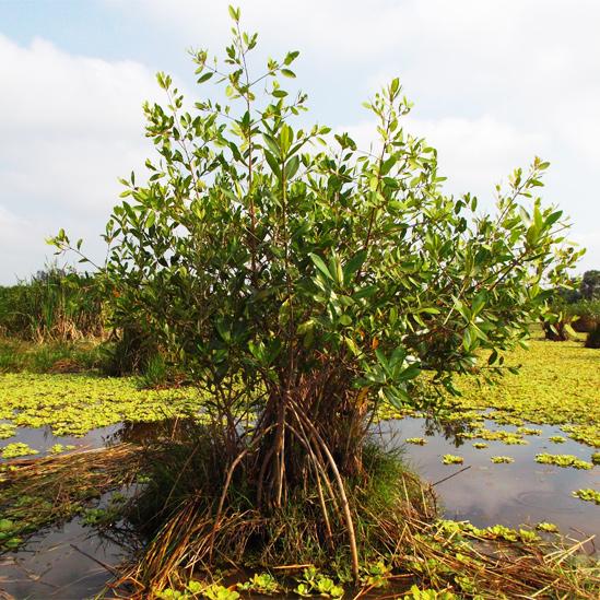Árbol de manglar creciendo robusto en una chinampa o isla flotante