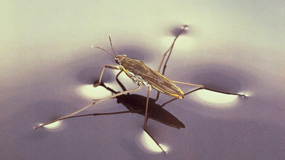 Insecto caminando sobre el agua