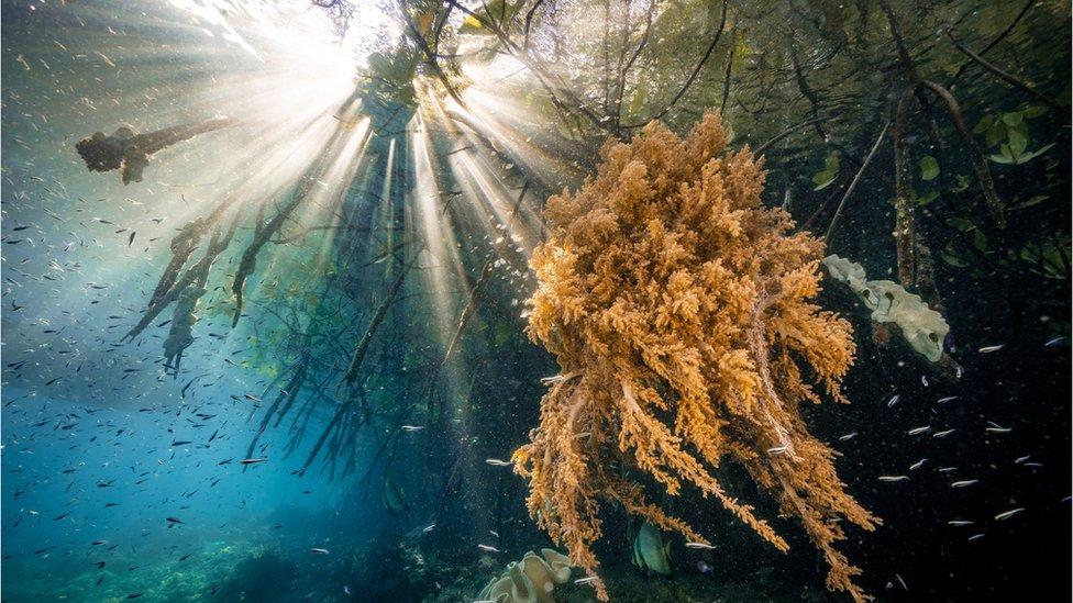 raíces de manglares en Indonesia
