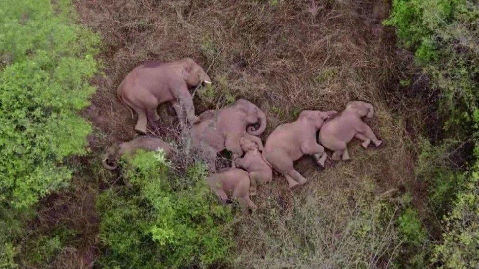 Korišćeni su dronovi za praćenje slonova