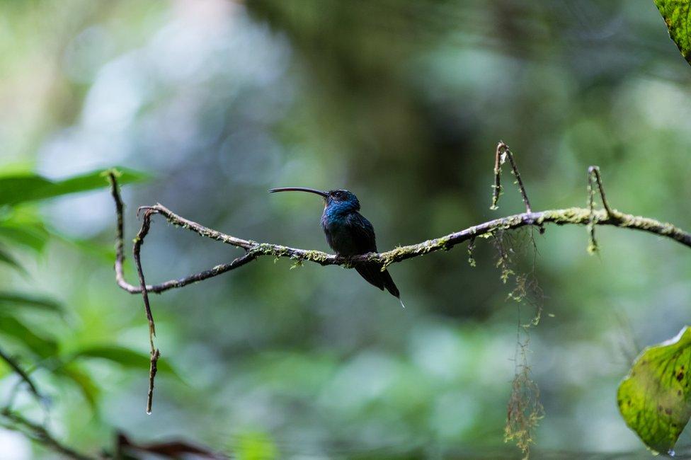 Un pájaro en la reserva del bosque nuboso de Santa Elena, en Costa Rica.