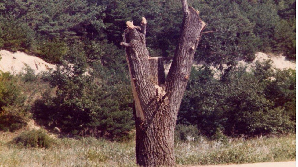 شذّب جنود سلاح الهندسة الأمريكي الشجرة باستخدام المناشير الآلية، تاركين جذعها فقط
