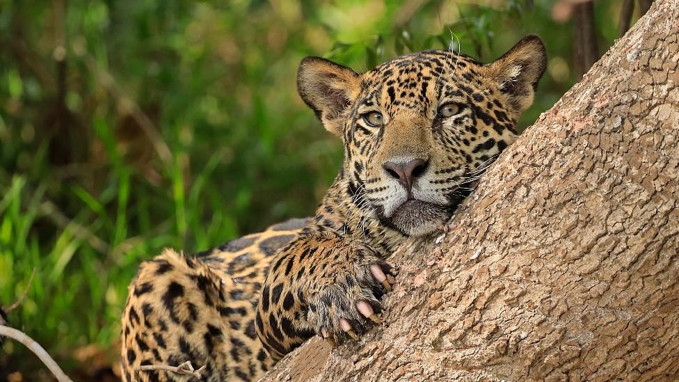 Jaguar en el Pantanal, en Brasil