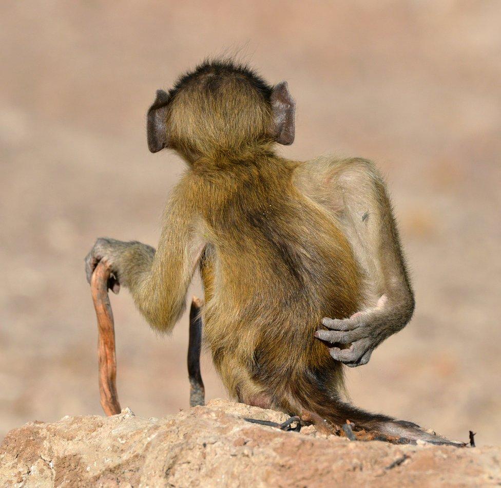 A monkey scratching its bottom