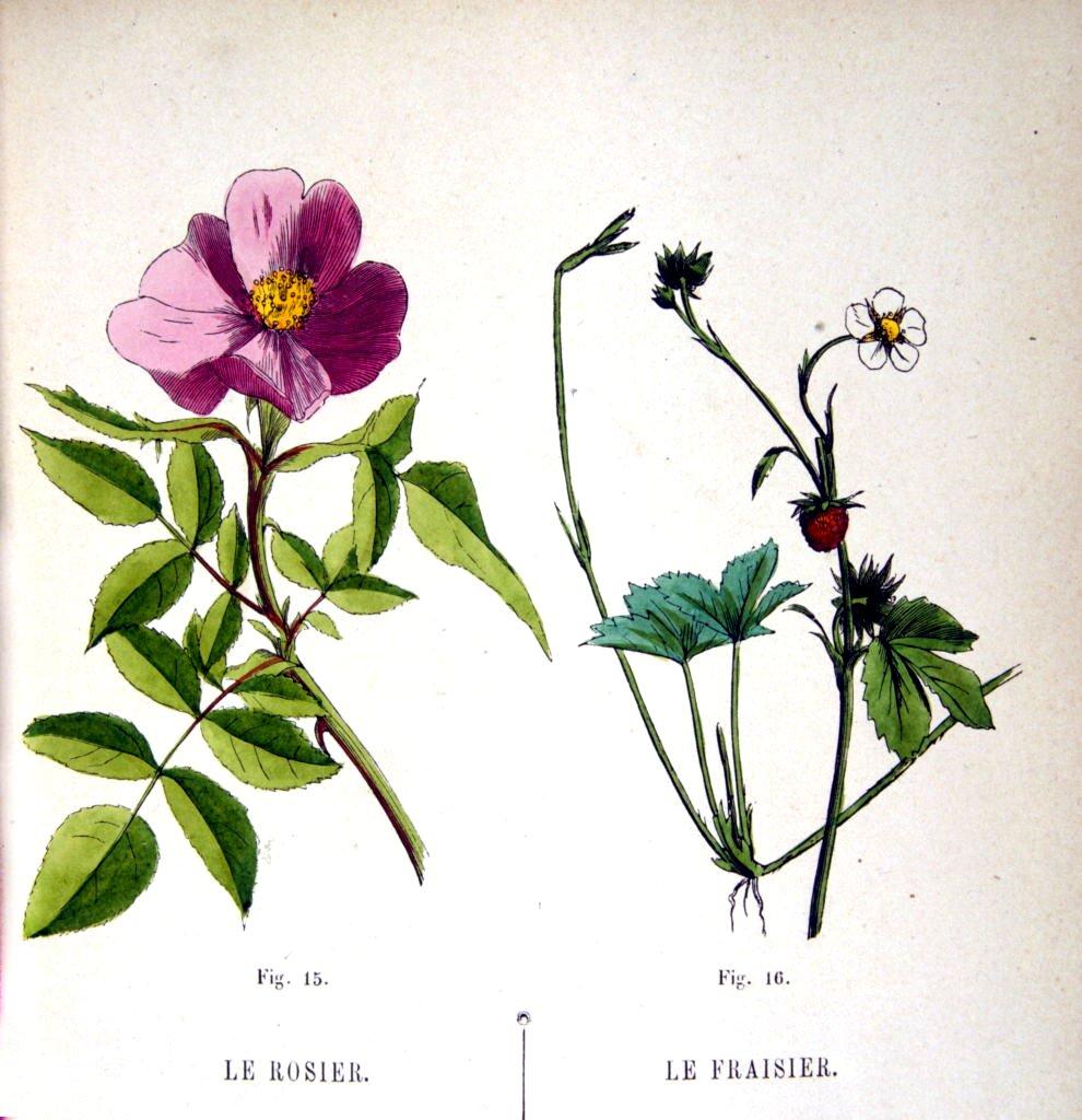 Ilustración de una rosa y una fresa