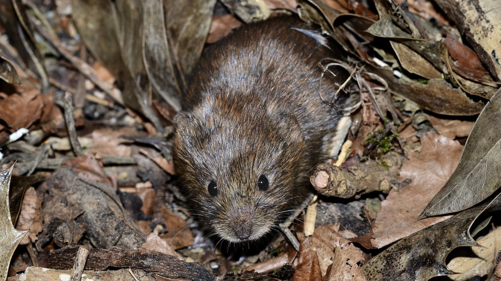 A small brown vole on some dead leaves