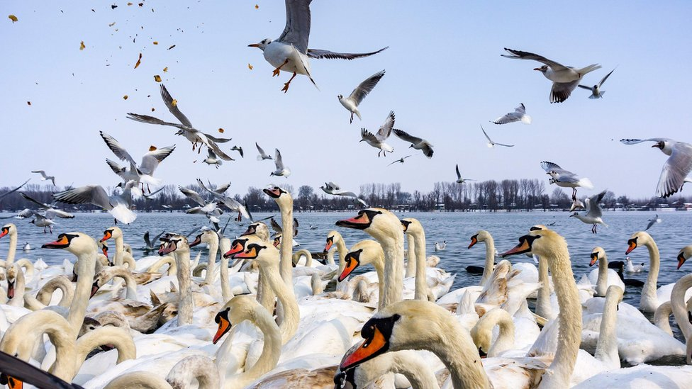 Swans and gulls fight for pieces of bread on the snow-covered banks of the Danube river in Belgrade on February 28, 2018.