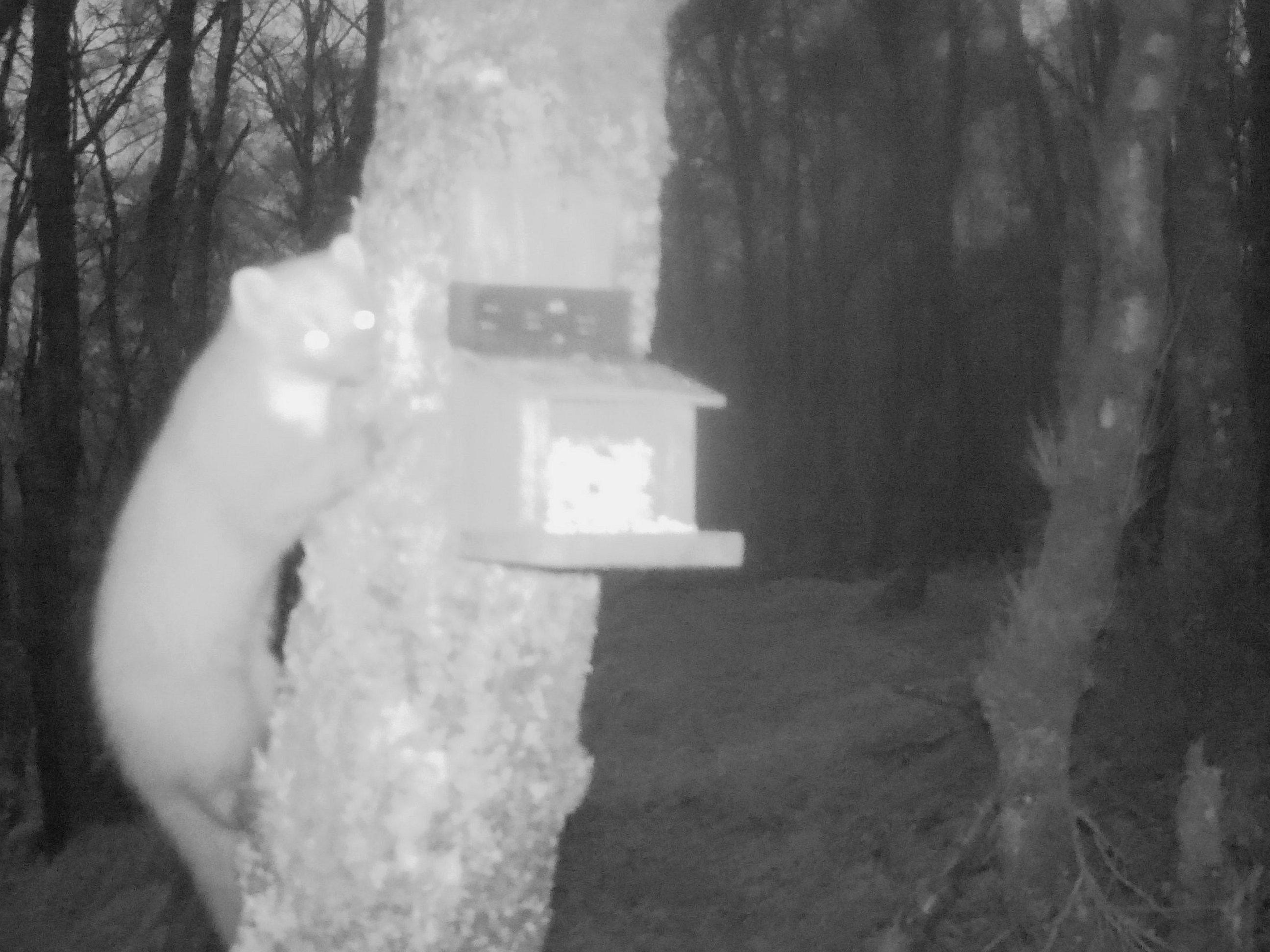 A pine marten at a squirrel feeder at night
