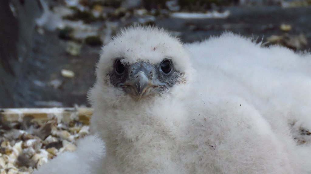Peregrine falcon chicks reared on Winchester Cathedral roof