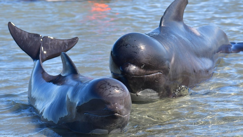 A pilot whale mother and calf lie in shallow waters during a mass stranding