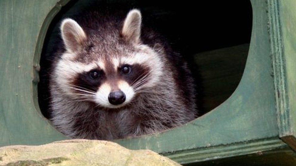 A raccoon at Tropiquaria Zoo