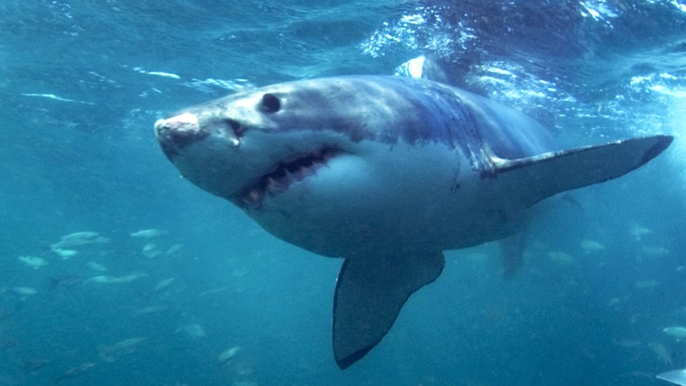 File photo of a great white shark