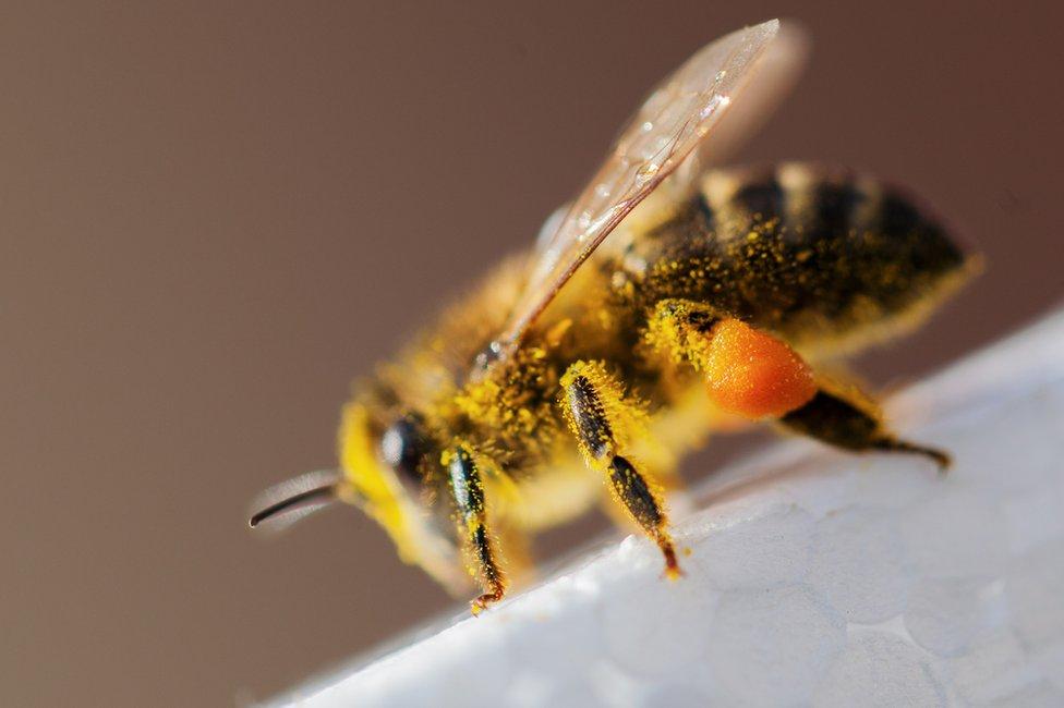 Abeja con polen en las patas