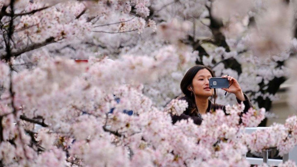 korona virus, japan i cvetanje trešnje