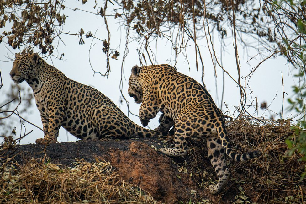 Two jaguars climb an embankment