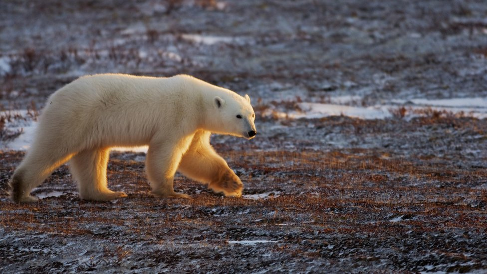 A white polar bear crosses the stark brown Canadian tundra in this November 2007 file photo
