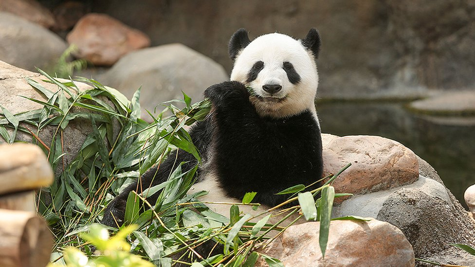 Ying Ying the panda