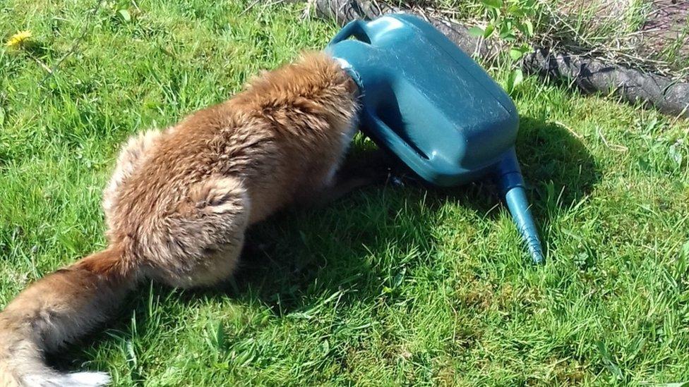 Fox got head stuck in watering can
