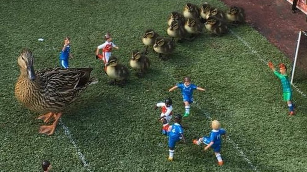 Ducklings invade football pitch at Babbacombe Model Village