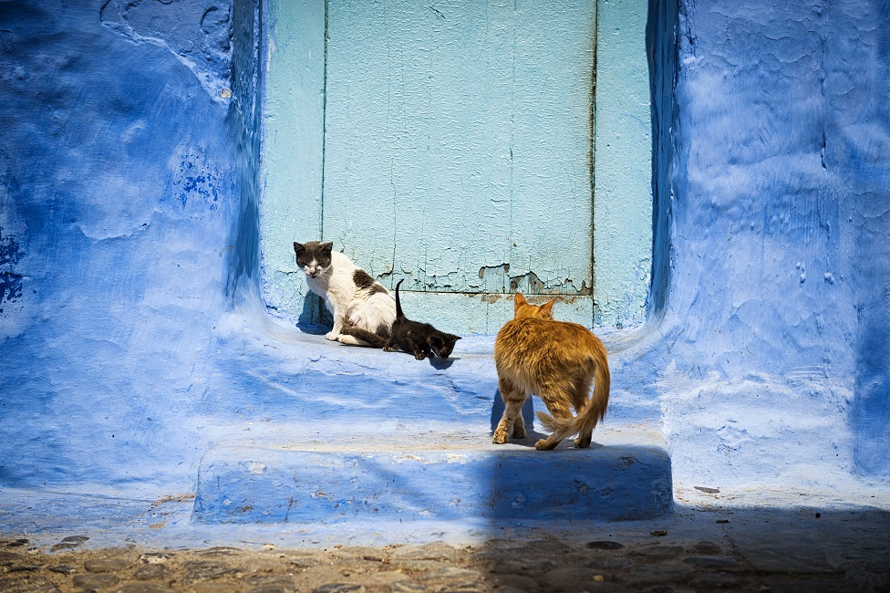 Cats in front of a door in the town of Chefchaouen, in Morocco