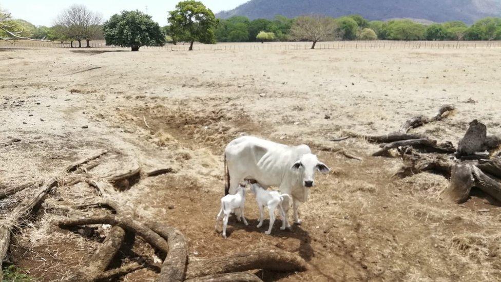 Las vacas de Johnny Obando