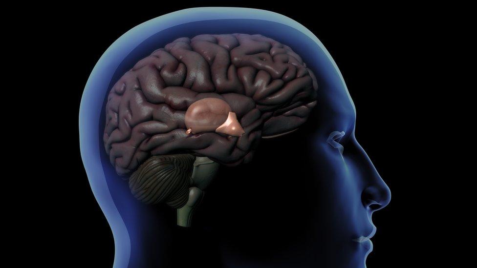 Dibujo de un cerebro dentro del cráneo humano que muestra la glándula pineal detrás del hipotálamo