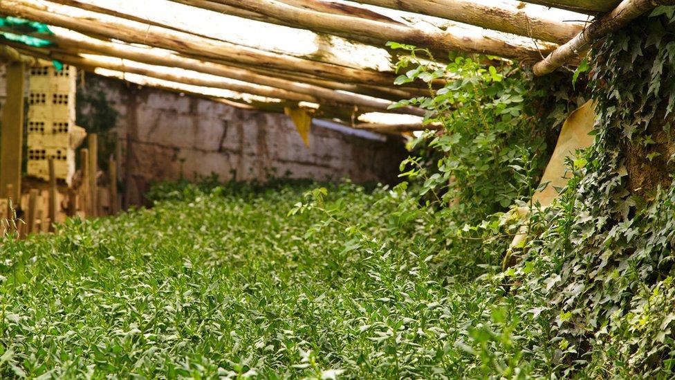 Las hiedras que cubren las paredes de tierra del wallipini ayudan a retener la humedad, para minimizar el riego.