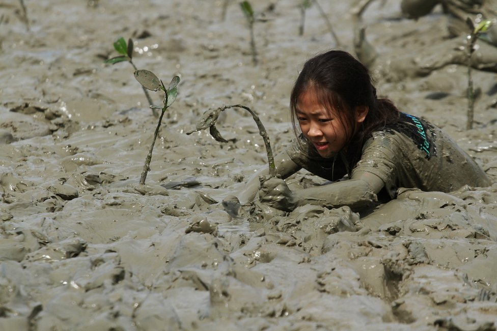 A young woman tends to a mangrove sapling in mud